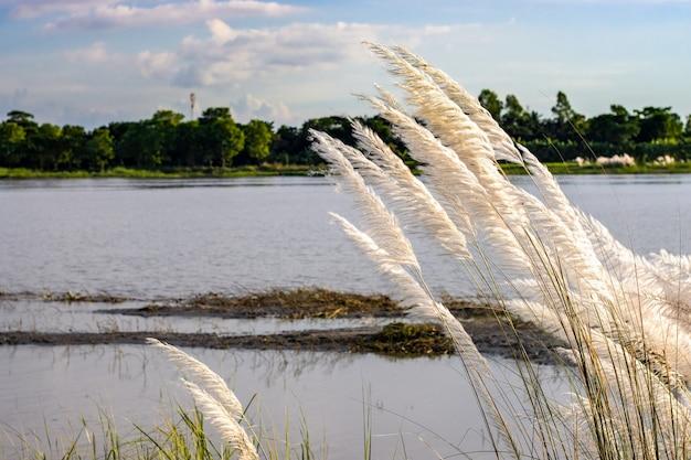 Saccharum spontaneum of kansgras bij de rivier in een landelijk dorp