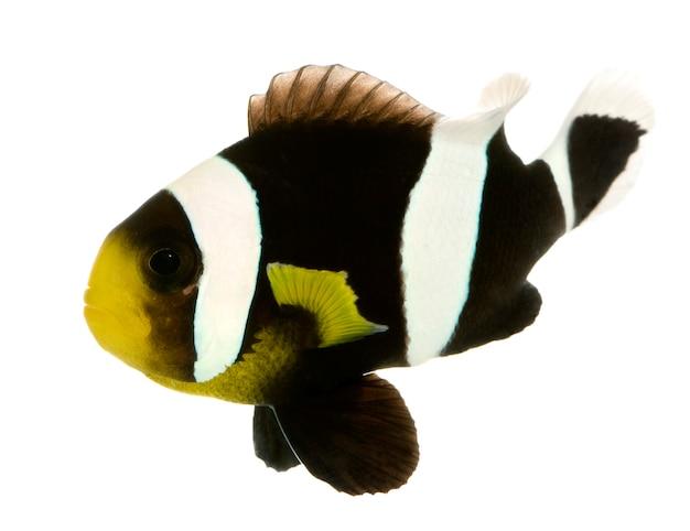 Saddleback clownfish - amphiprion polymnus op wit