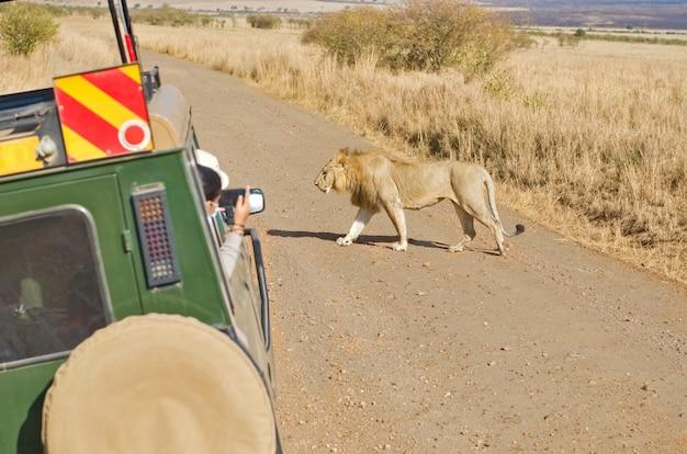 Safari in afrika toeristen in safari auto kijken naar leeuw op wildlife drive in afrikaanse savanne