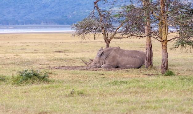 Safari - neushoorn