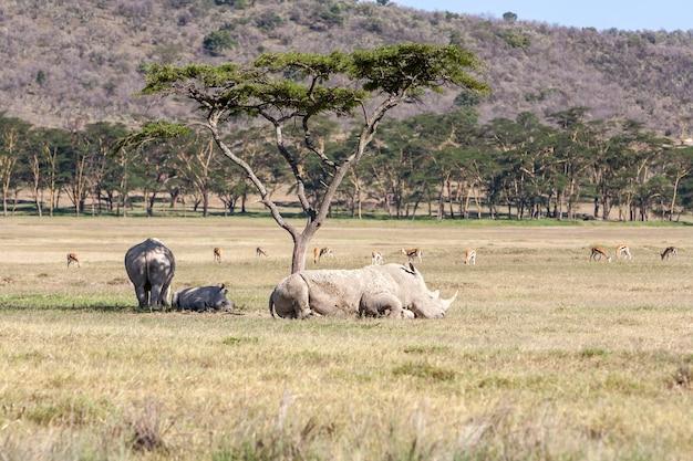 Safari - neushoorns