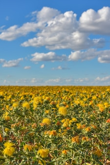 Saffloer veld, veld met gele stekelige bloemen