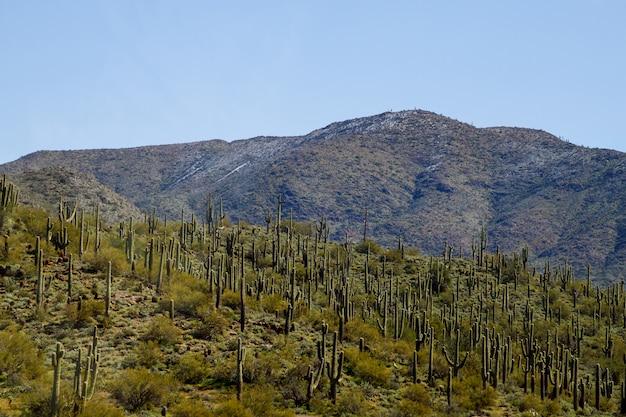 Saguaro en met sneeuw bedekte sonorawoestijn.