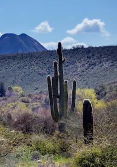 Saguarocactus in bergen, de woestijn van arizona