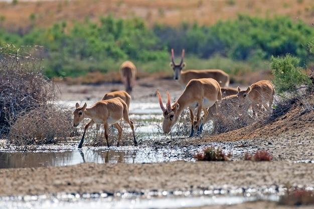 Saiga-antilopen of saiga tatarica-drankjes in steppe