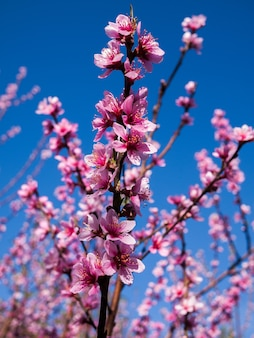 Sakura bloeit bloeiende bloesem in thailand