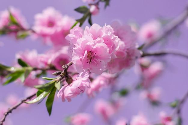 Sakura bloeit close-up op een gestemde achtergrond