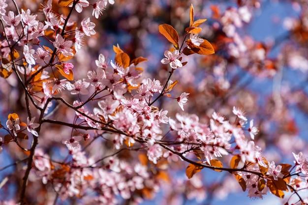 Sakura bloeit in de lente aan de boom