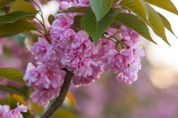 Sakura bloeit in de stralen van de zonsondergang. detailopname