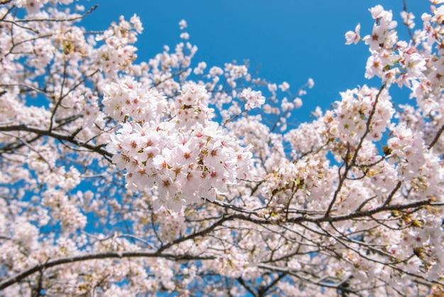Sakura bloeit in tokyo, achtergrond