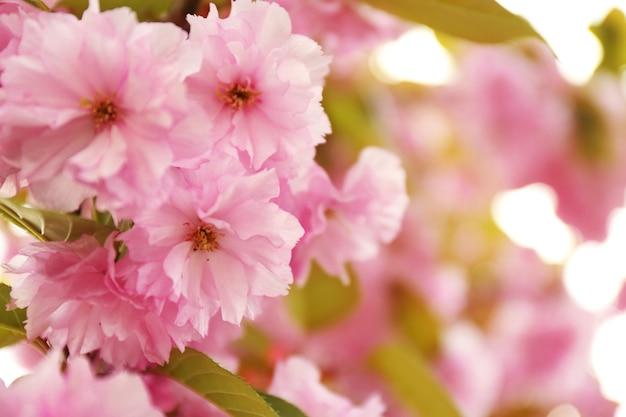 Sakura bloeit op een lentedag