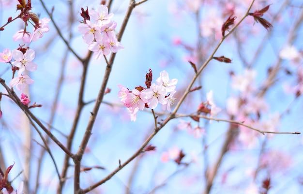 Sakura bloeit tegen blauwe hemel