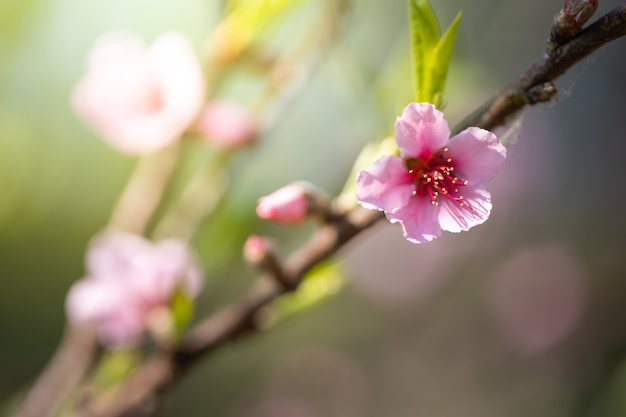 Sakura bloemen bloeien bloesem in chiang mai, thailand,