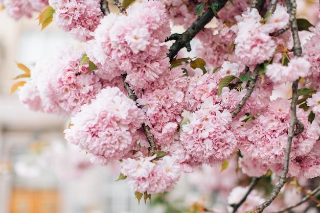 Sakura bloemen bloeien. mooie roze kersenbloesem