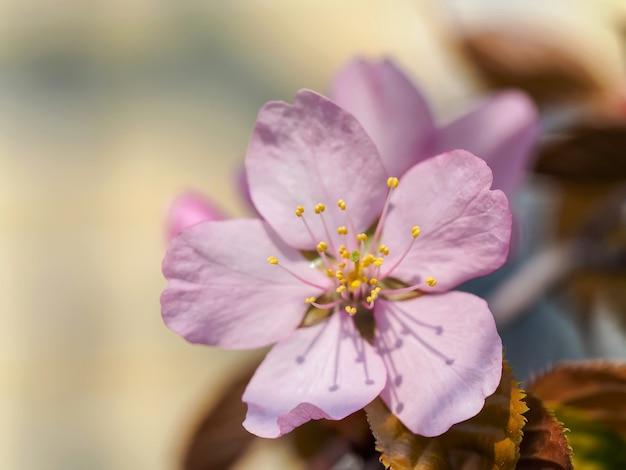 Sakura-bloemen die in de lente in japan bloeien. lente bloem achtergrond. de eerste sleutelbloemen in de lentezon.