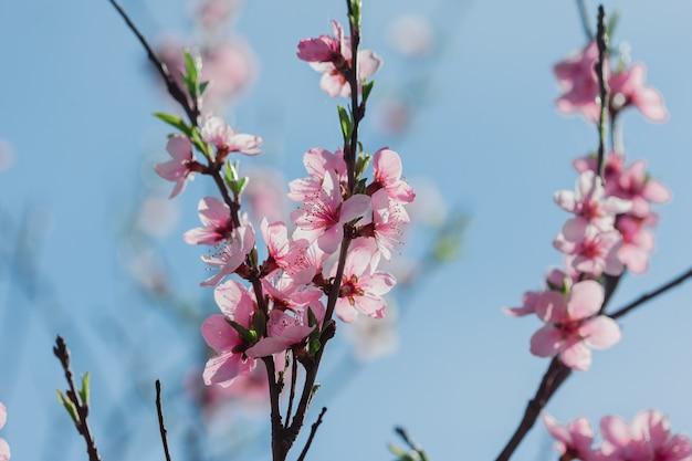 Sakura-bloesems in de tuin