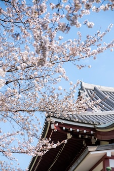Sakura boom bij tempel in japan