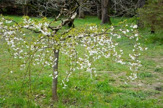 Sakura cherry bloeiende bomen. prachtig toneelpark met bloeiende kersensakurabomen en groen gazon in de lente,