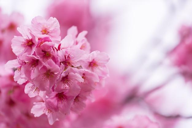 Sakura, cherry blossom-bloem in lentetijd