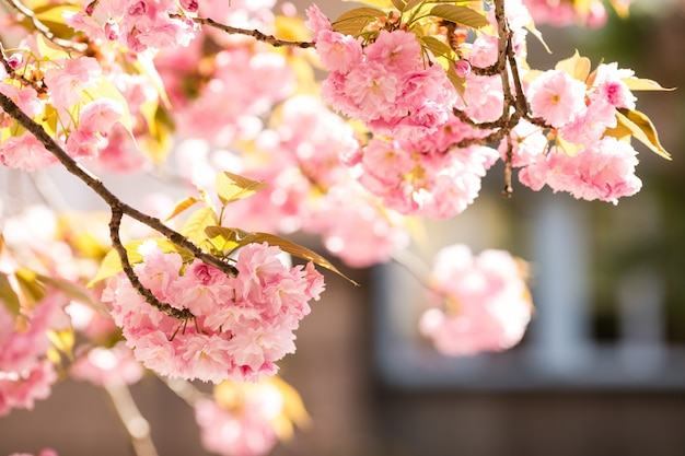Sakura. de kers komt japan tot bloei