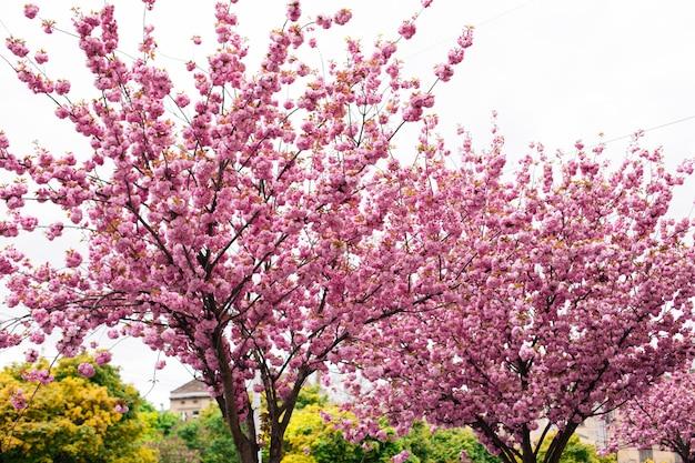Sakura in lviv, roze bloeiend in het voorjaar