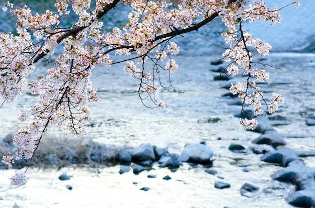 Sakura in zachte focus, fel roze kersenbloesem op de onscherpe achtergrond in japan.