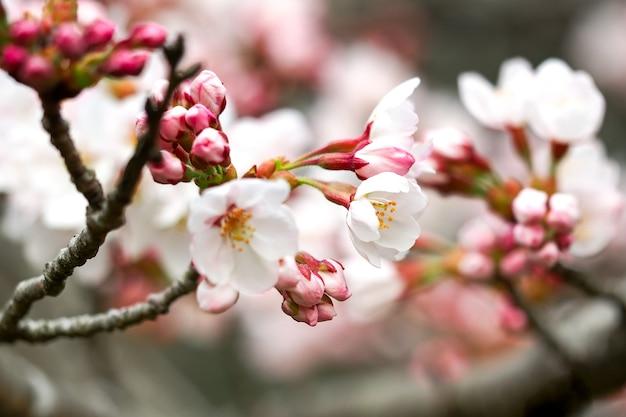 Sakura. kersenbloesem in de lente. mooie roze bloemen