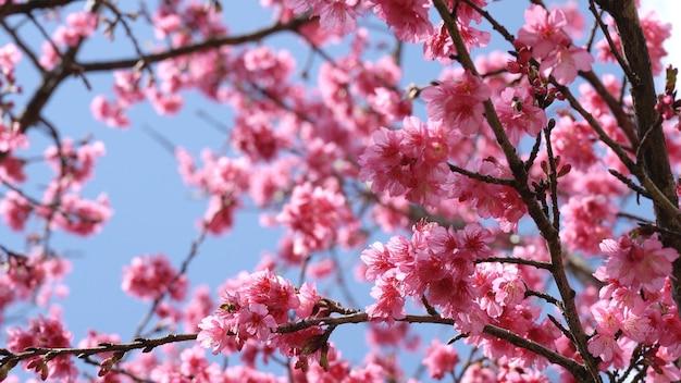 Sakura-kersenbloesem op blauwe hemel in de lentetijd.