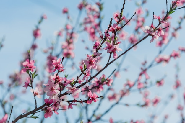 Sakura komt in de tuin tot bloei