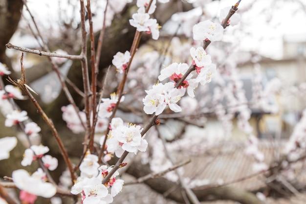 Sakura of cherry blossom of japanese cherry