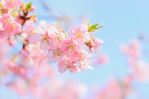Sakura, roze kersenbloesem in japan op lente seizoen.