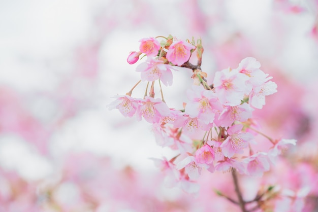 Sakura, roze kersenbloesem in japan op lentetijd.