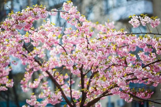 Sakura straat. uitzicht op de sakuraboom in volle bloei op straat