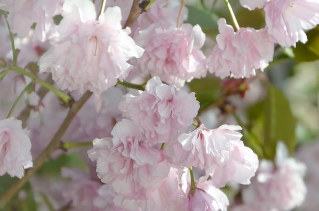 Sakura van de pastelkleur roze kers in japan in tot bloei komend seizoen