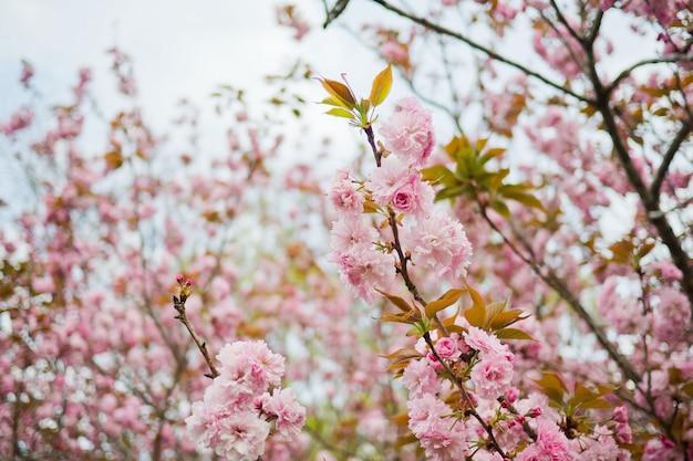 Sakurabloem, aardachtergrond, bloem in japan