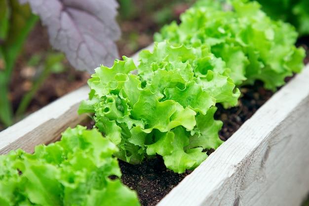 Salade geplant in de tuin op een rij. slabed in de zomer