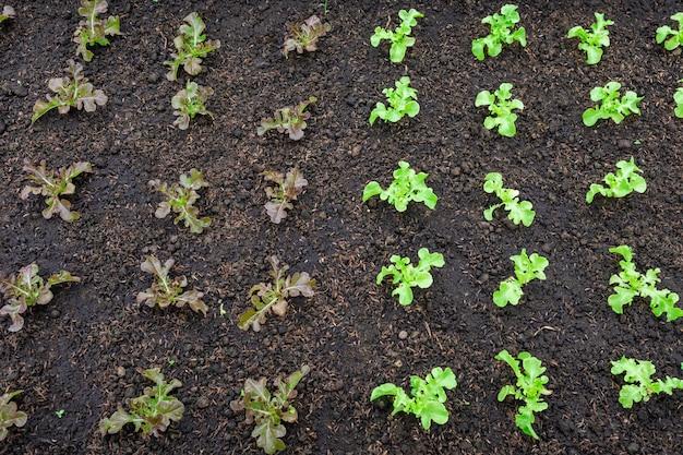 Salade zaailingen gerangschikt in plantaardige percelen