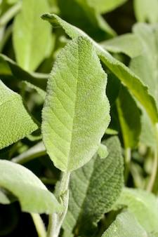 Salie plant