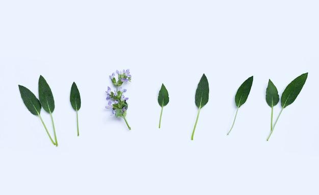 Saliebladeren met bloem op witte achtergrond. ruimte kopiëren