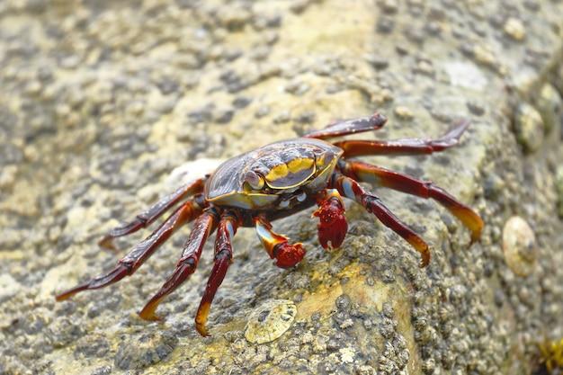 Sally lightfoot crab of rock crab (grapsus grapsus) op zoek naar voedsel tussen de rotsen waar de golven toeslaan.