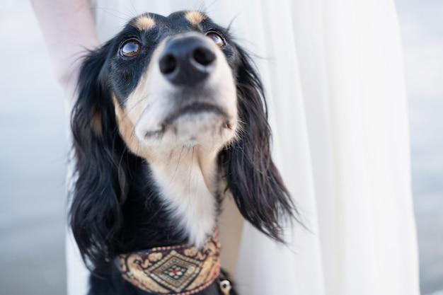 Saluki honden hoofd. zwart en beige. in de buurt van rivier. zijaanzicht. bruine ogen. boef neus. toegewijde perzische windhond close-up portret. eigenaar aankijken. hoge kwaliteit foto