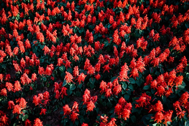 Salvia bloemen in de tuin, mooie bloeiende bloemen rode salvia (salvia splendens)