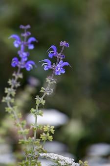 Salvia pratensis groeit in het wild in de dolomieten