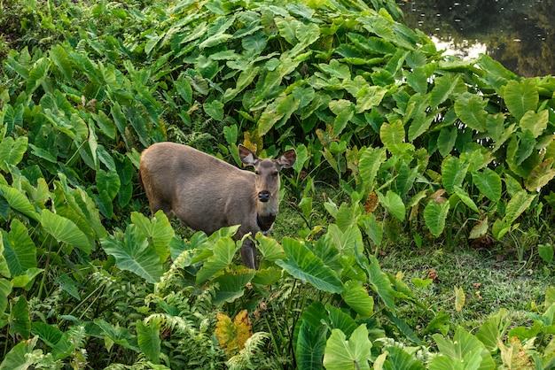 Sambarherten in groen moeras, het nationale park van khao yai, thailand
