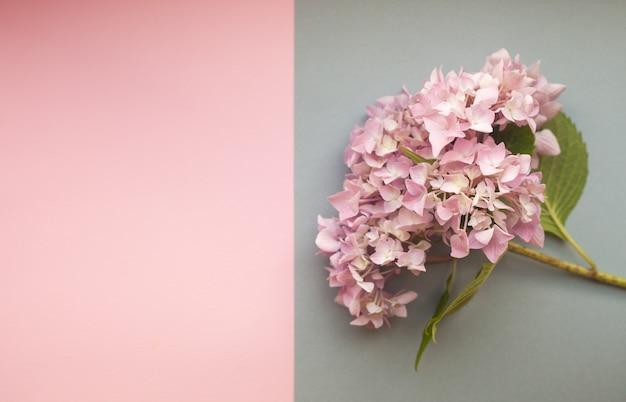 Samenstelling van hydrangea hortensia de roze bloemen tegen duotoonachtergrond met copyspace