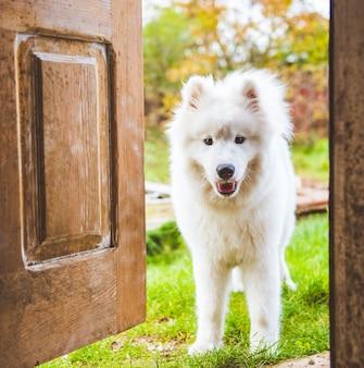 Samojeed hond bij de deur thuis die van achteren naar het huis kijkt