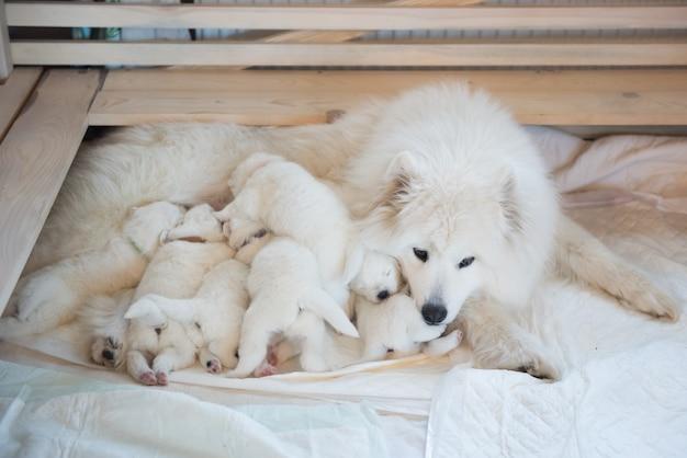 Samojeed hond moeder met puppy's puppy's zogende moeder
