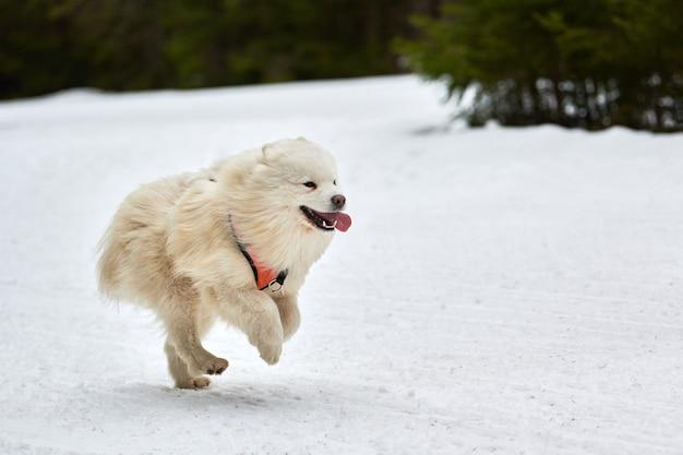 Samojeed hond uitvoeren op sledehondenrennen