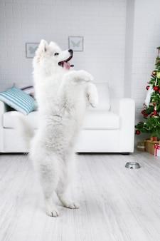 Samojeed-hond voert een commando uit in een kamer met een kerstboombank en een muurachtergrond