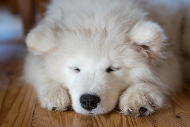 Samojeed pup tot op de vloer en slapen